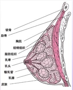 女性乳房结构图
